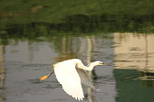 Egret is on a flight. Calm waters in the eveing. Bird perhaps getting back to the place to stay. A beautiful bird with it's neck and legs stretched.