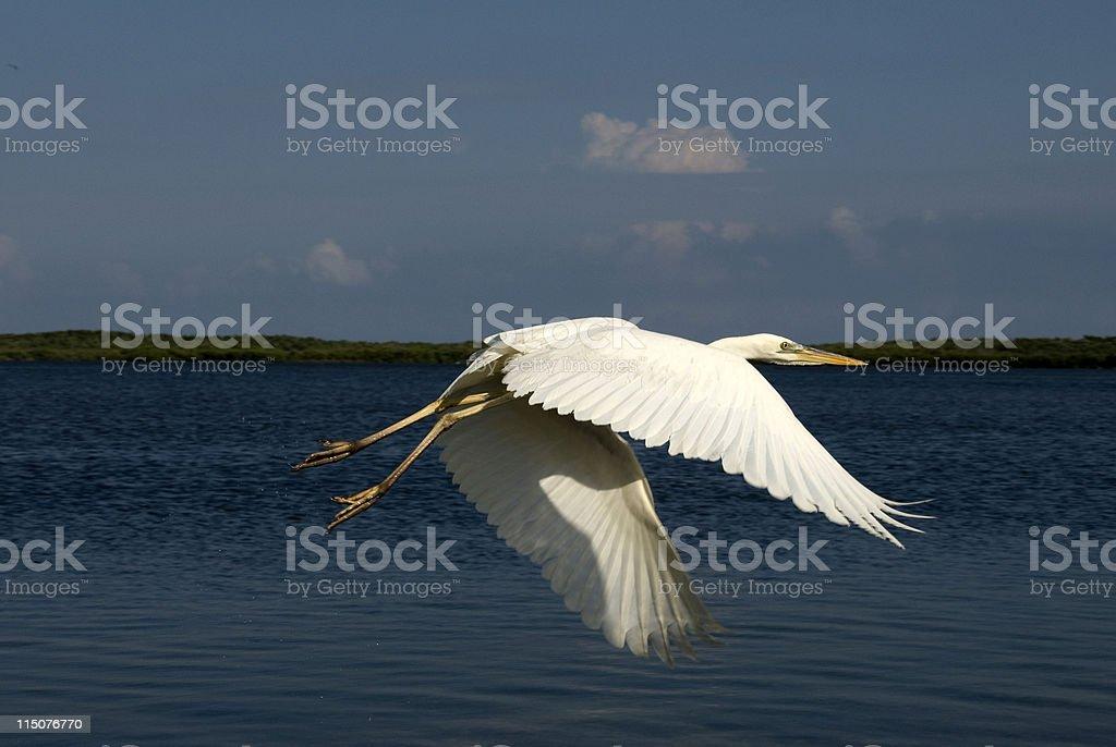 Egret on the Downbeat stock photo