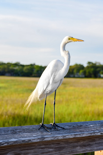 An egret stands on a boardwalk looking out at the marsh