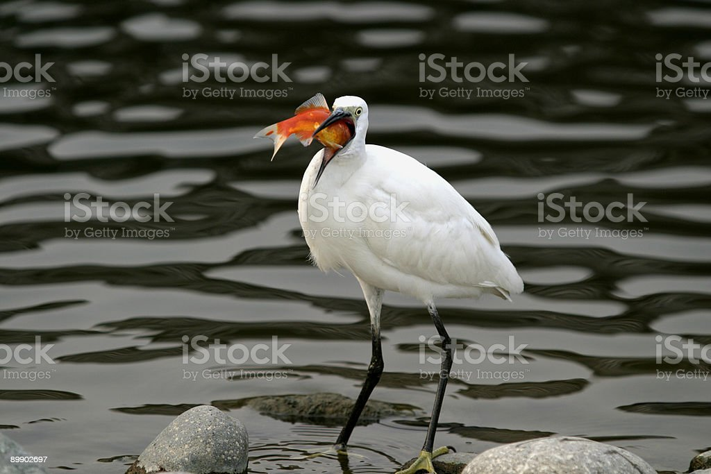 Egretta foto stock royalty-free