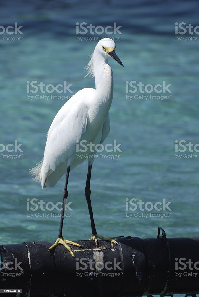 egret royalty-free stock photo