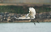 Egret play in the waterland