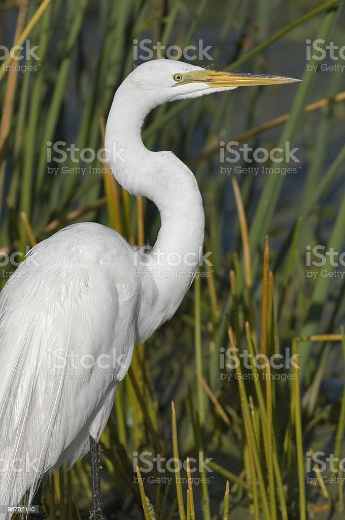 Egret poses in marsh royalty-free stock photo