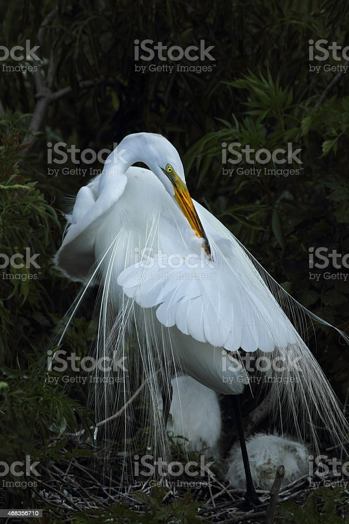 Egret preening in nest, Florida. royalty-free stock photo