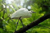 Egret Resting on Tree Branch