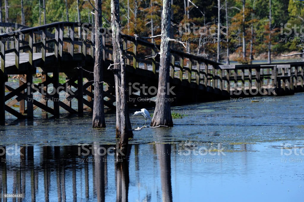 Egret Scratches Itch stock photo