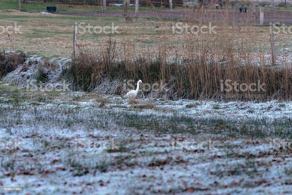 Alert egret sitting at the edge of ditch in winter rural landscape....