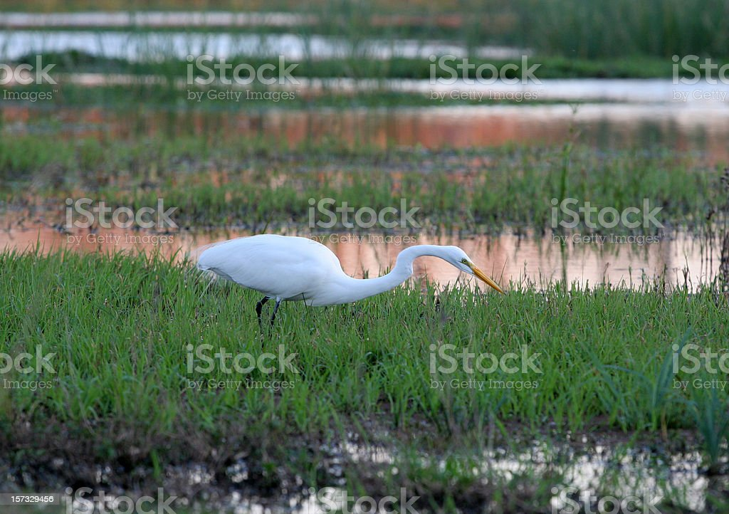 egret stalking at sunset stock photo