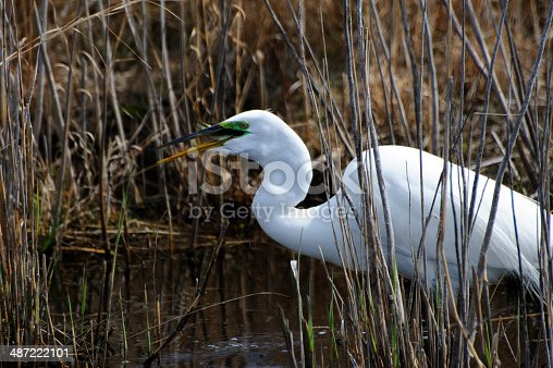 Third is a series of views of a Great Egret feeding along a stream running through a marsh at Cape May Point State Park, New Jersey.