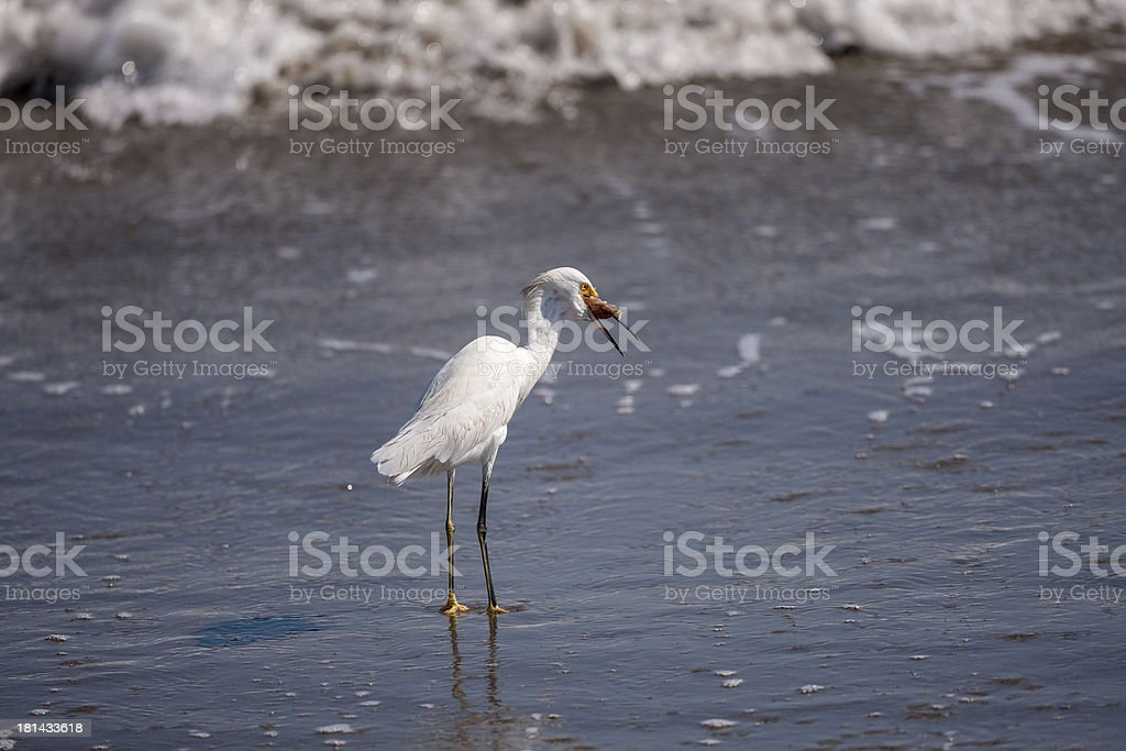 Egret with Sand Crab royalty-free stock photo