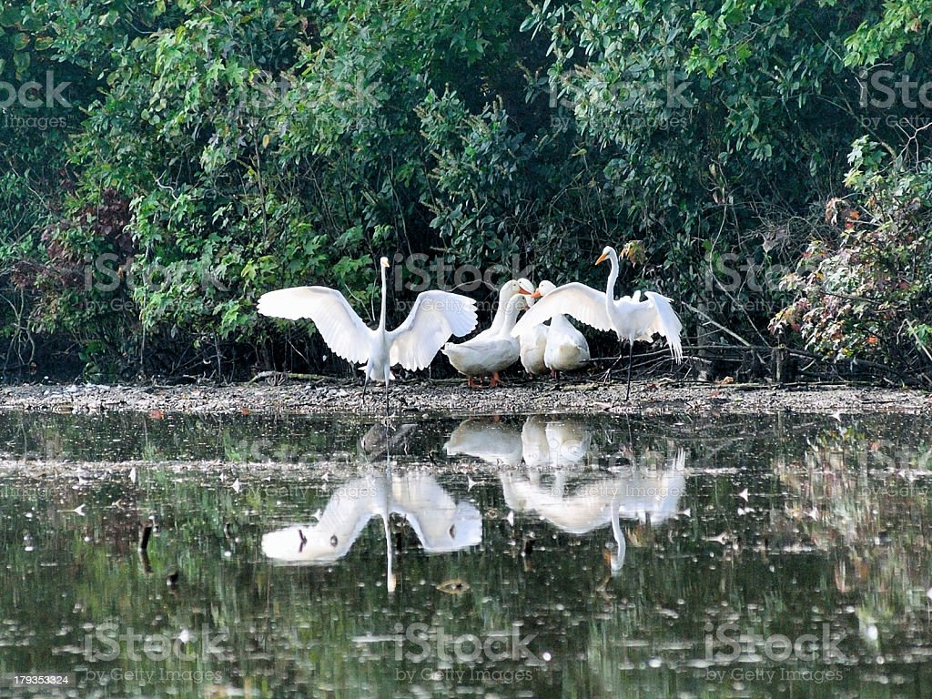 Egrets And Geese royalty-free stock photo