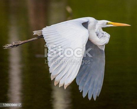 Egrets at Huntley Meadows Park