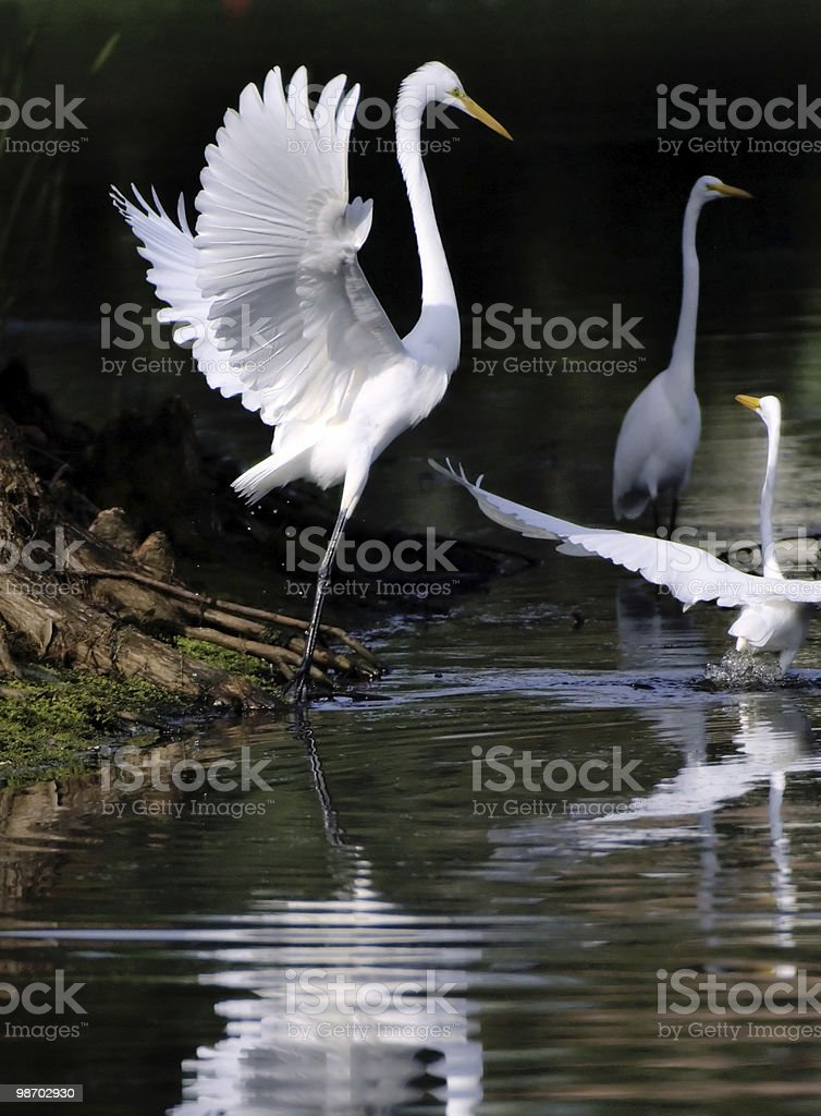 egrets converge to fish in pond royalty-free stock photo