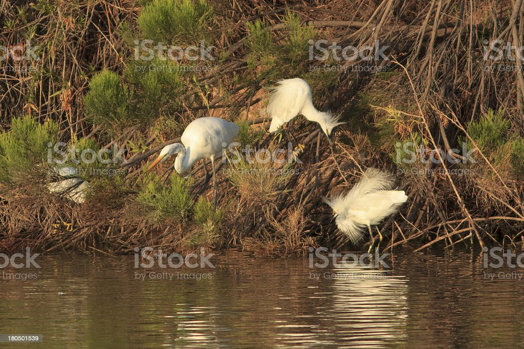 Egrets Fishing and Fighting royalty-free stock photo