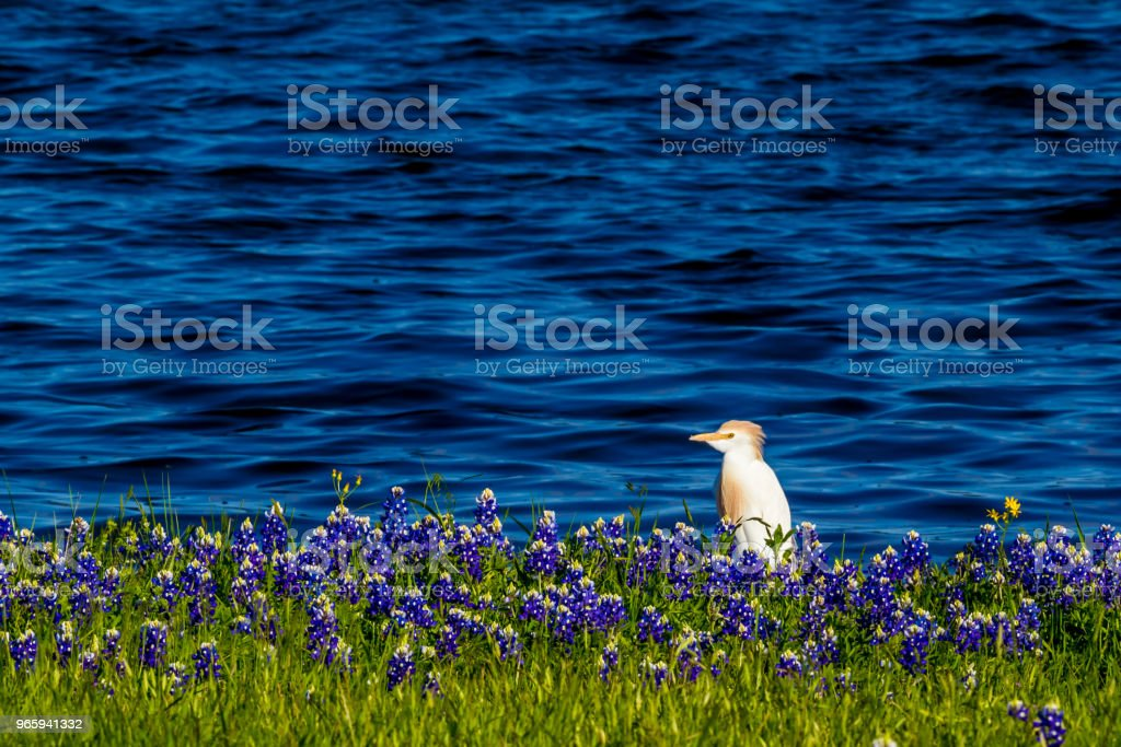 Egrets in Texas Bluebonnets at Lake Travis at Muleshoe Bend in Texas. - Royalty-free Agricultural Field Stock Photo