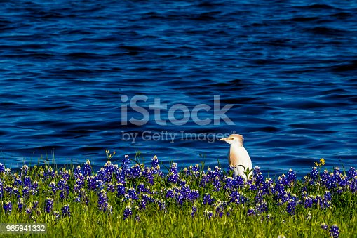 A Cattle Egret (Bubulcus ibis) in Beautiful Famous Texas Bluebonnet (Lupinus texensis) Wildflowers  at Muleshoe Bend on the Blue Waters of Lake Travis in Texas.