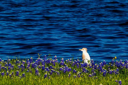 Zilverreigers In Texas Bluebonnets Op Lake Travis Op Muleshoe Bend In Texas Stockfoto en meer beelden van Blauw