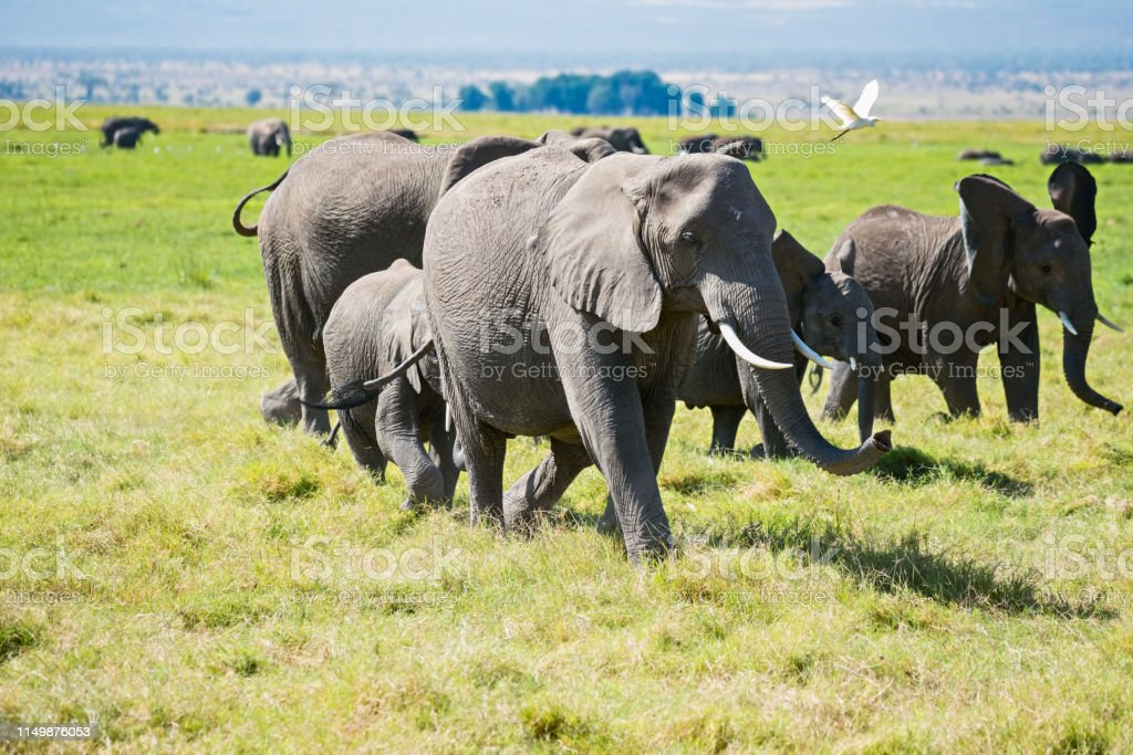 Egretta with elephants stock photo