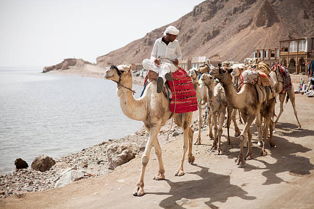 Egyptian Bedouin & Camels in Dahab stock photo
