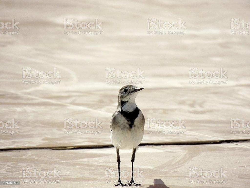 Egyptian Bird stock photo