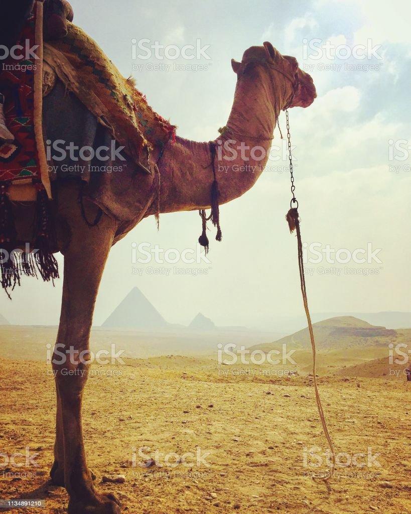 Ägyptisches Kamel und Pyramiden – Foto