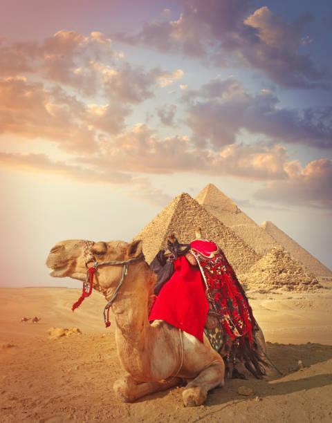 Ägyptisches Kamel und die Pyramiden in Gizeh – Foto