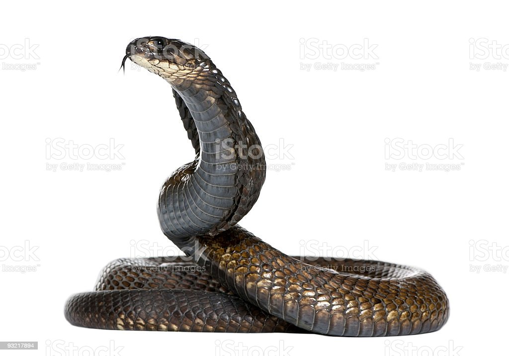 Egyptian cobra - Naja haje stock photo