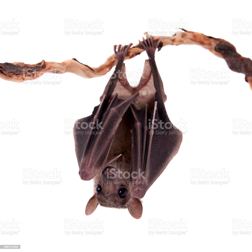 Egyptian fruit bat isolated on white stock photo