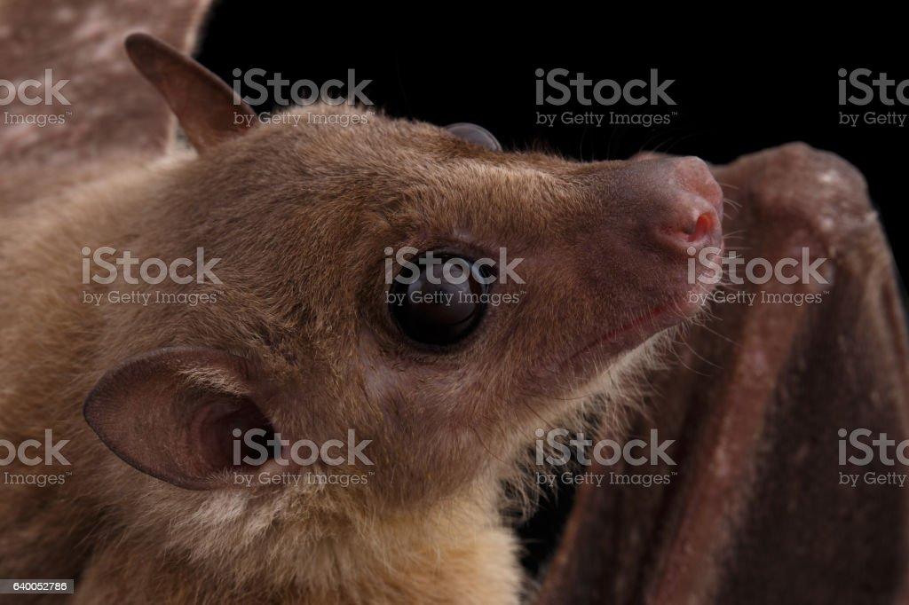 Egyptian fruit bat or rousette, black background Close-up Egyptian fruit bat or rousette, Rousettus aegyptiacus. on isolated black background Animal Stock Photo