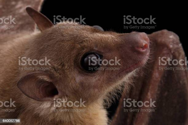 Egyptian Fruit Bat Or Rousette Black Background Stock Photo - Download Image Now