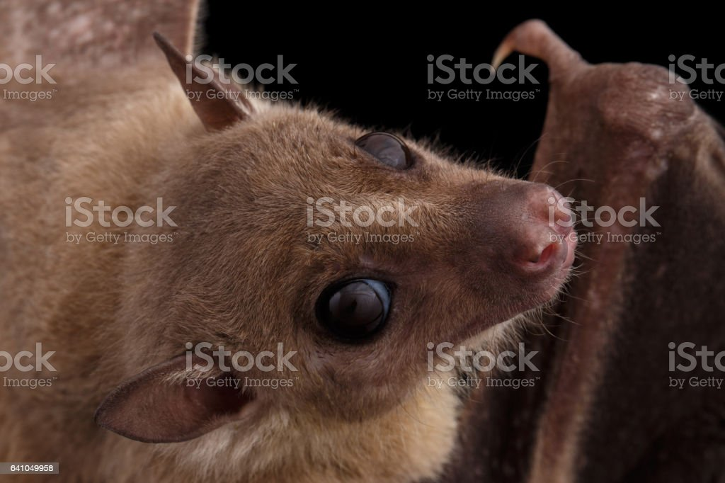 Egyptian fruit bat or rousette, black background stock photo