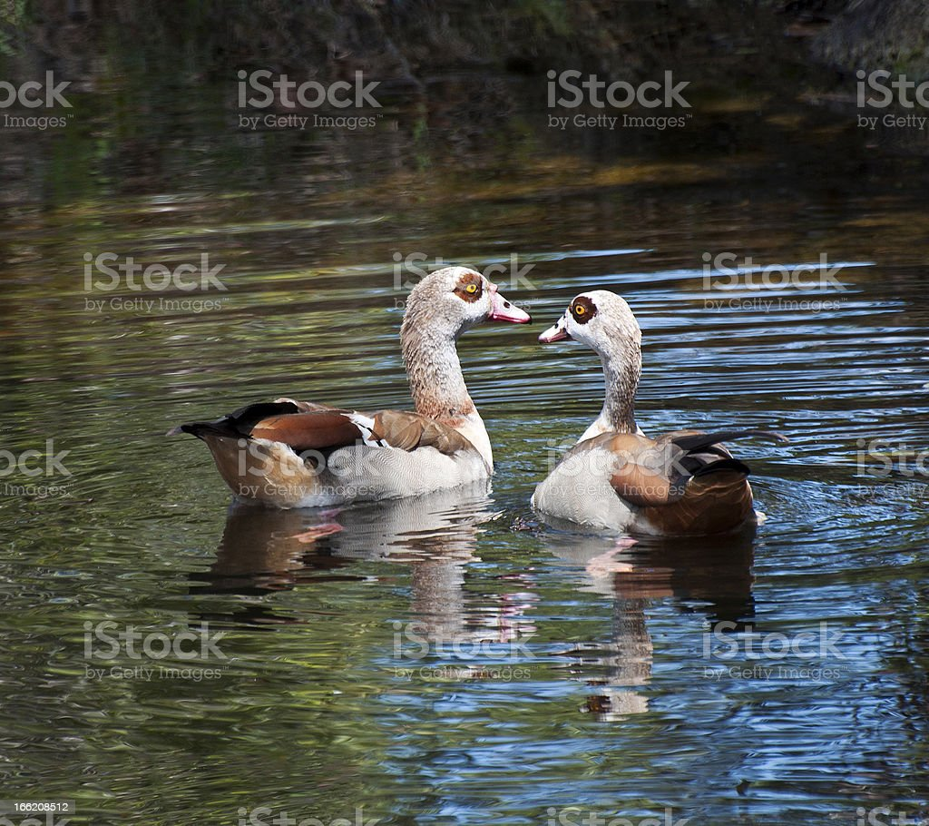 Egyptian geese on water royalty-free stock photo