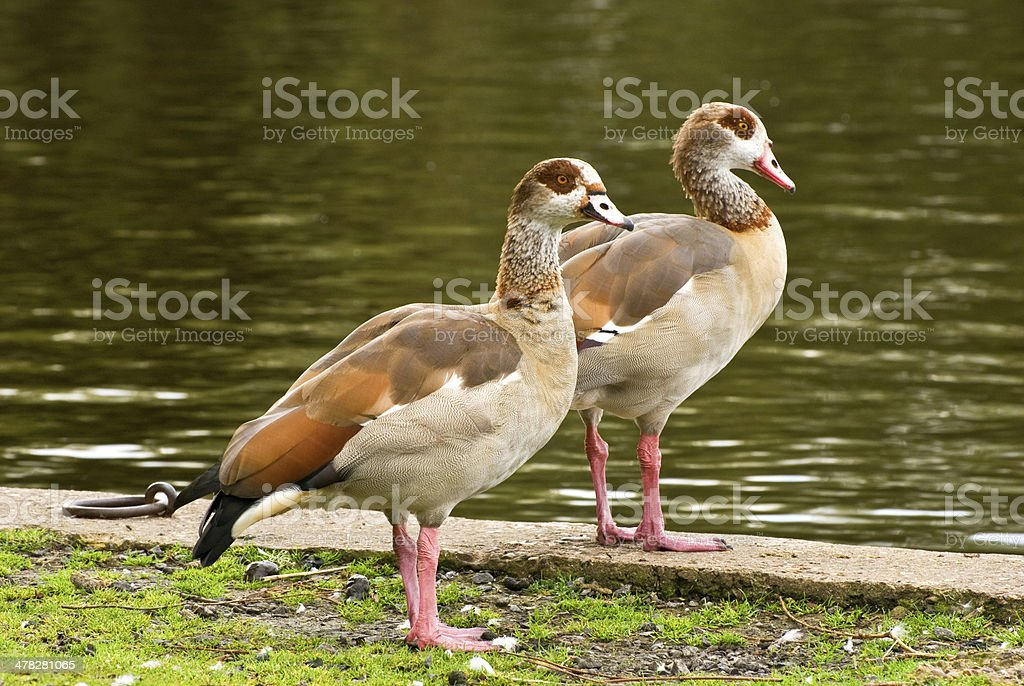 Egyptian geese royalty-free stock photo