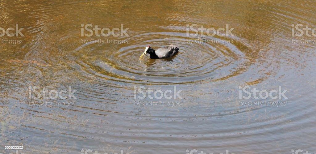 Egyptian goose in lake royalty-free stock photo