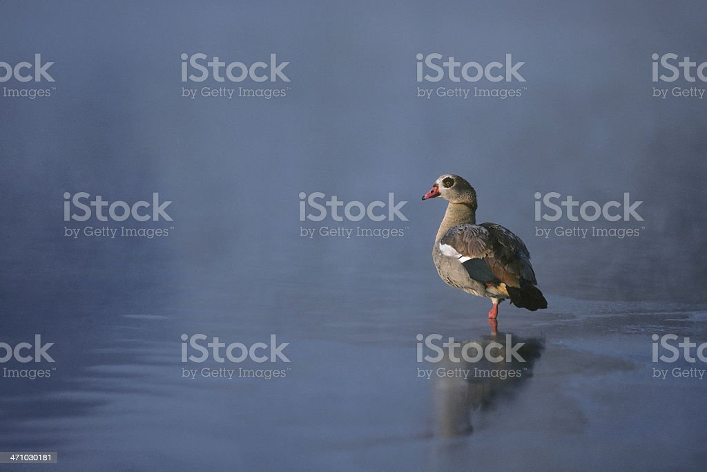 Egyptian Goose in the Morning Mist stock photo