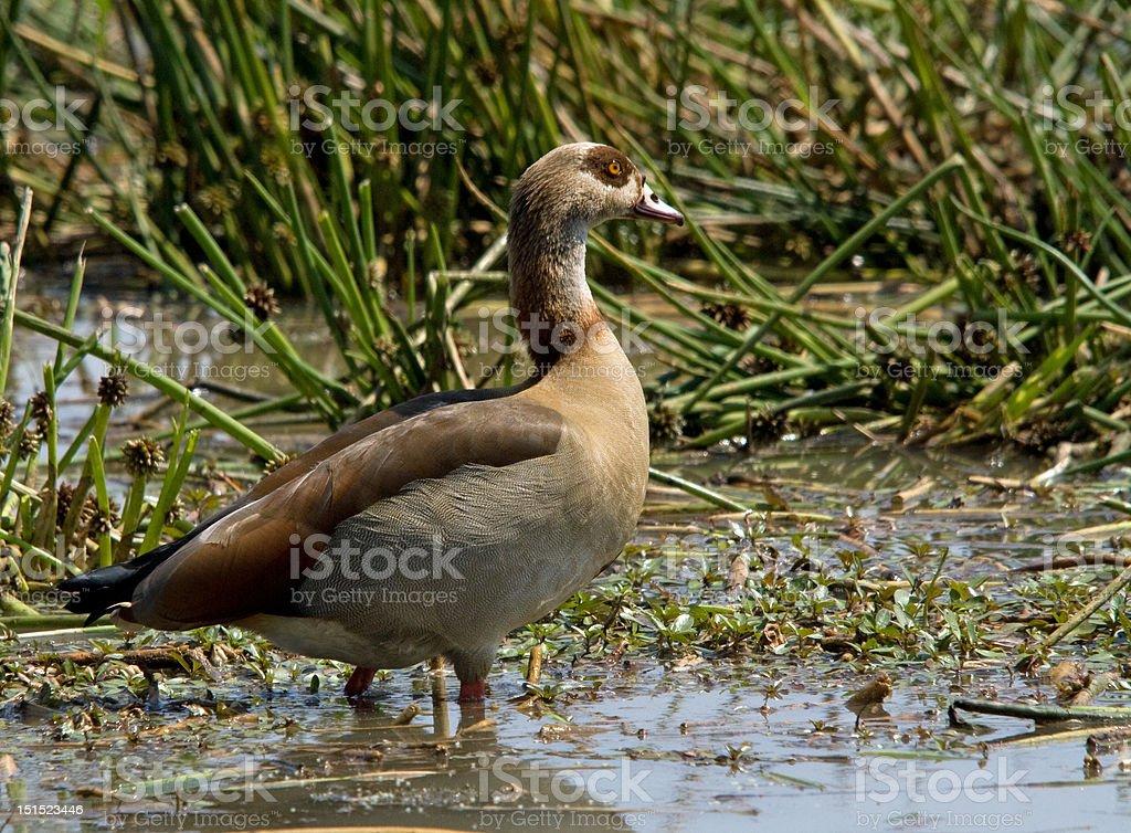 Egyptian Goose royalty-free stock photo