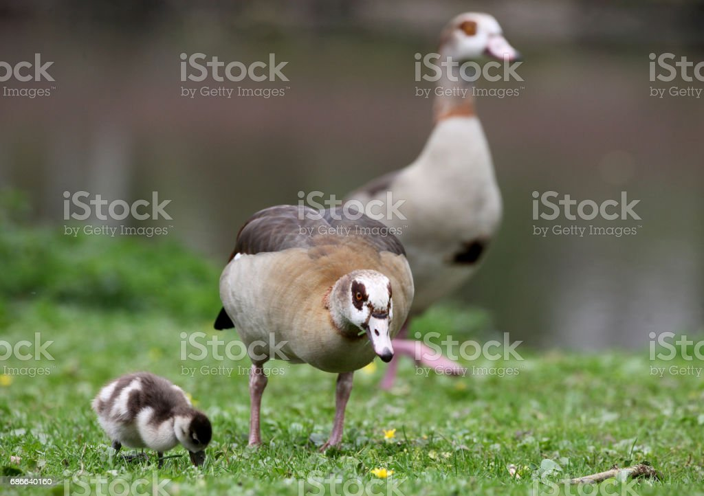 Egyptian Goose with little ones royalty-free stock photo