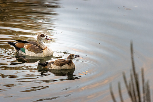 Egyptian goose with offspring in the park