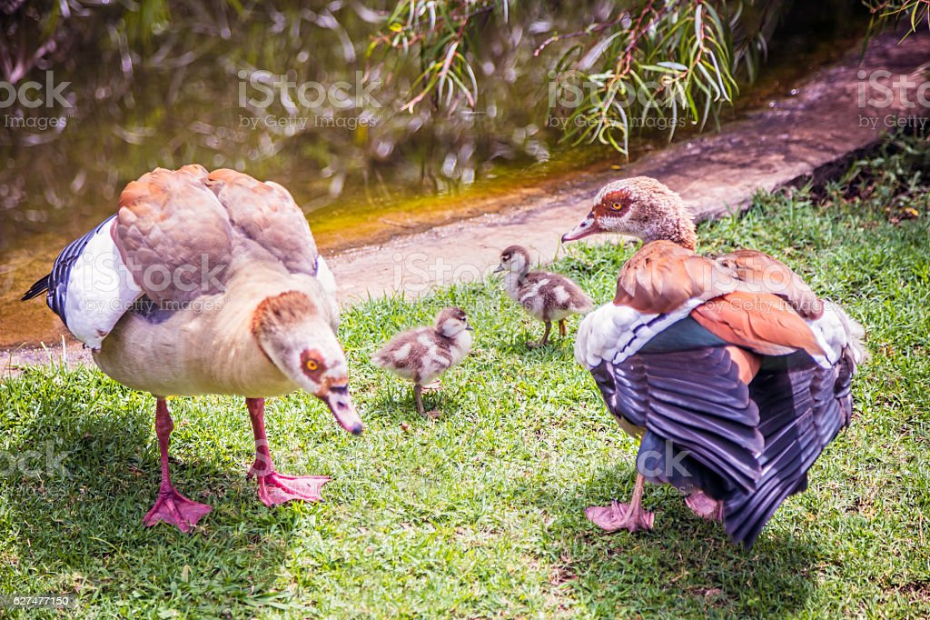 Egyptian goose with their ducklings stock photo