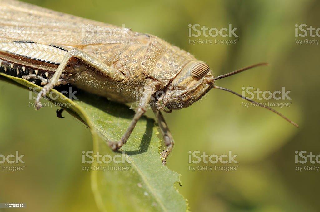 Egyptian grasshopper stock photo