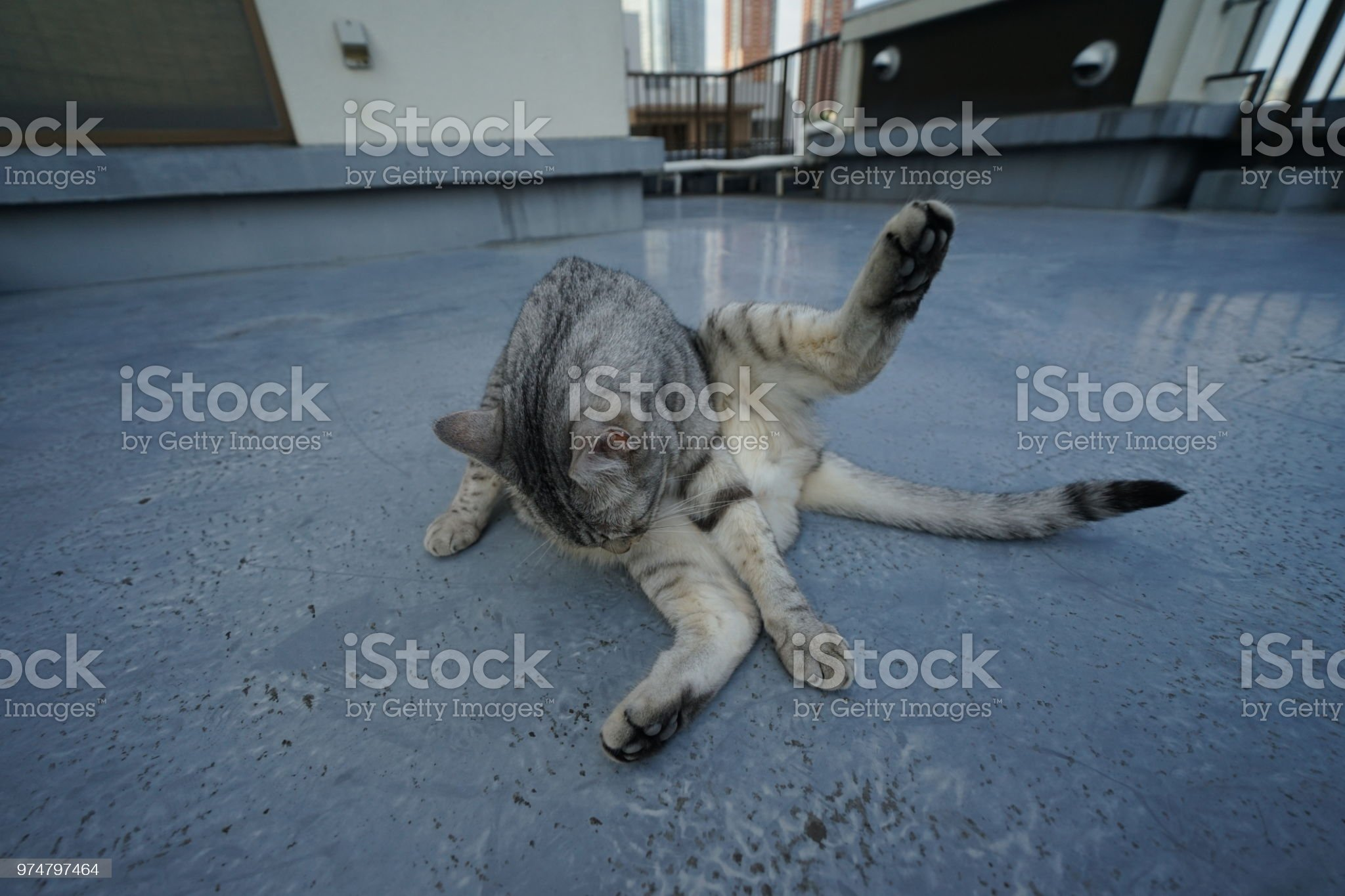 https://media.istockphoto.com/photos/egyptian-mau-in-tokyo-picture-id974797464?s=2048x2048