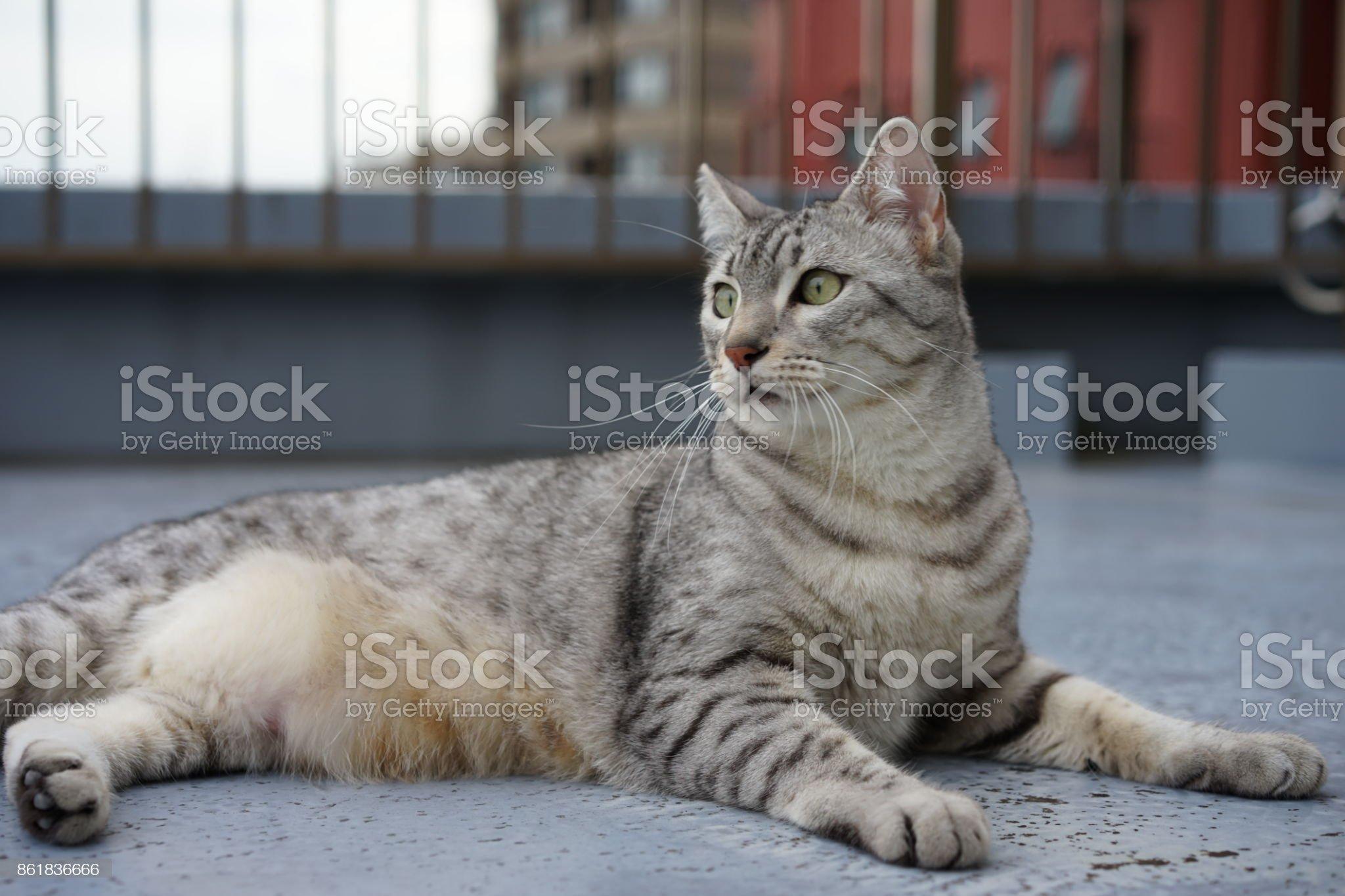 https://media.istockphoto.com/photos/egyptian-mau-picture-id861836666?s=2048x2048