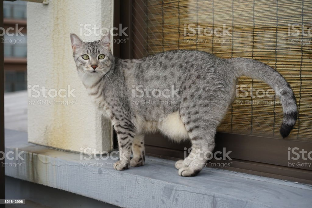 Egyptian mau stock photo