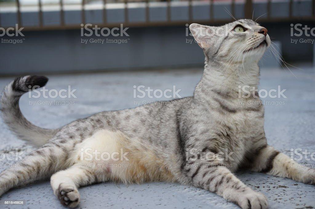 Egyptian mau stock photo