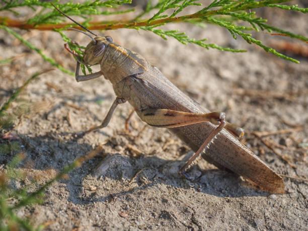 Ägyptische oder riesige Heuschrecke close-up, Anacridium Aegyptium, Tier Hintergrund – Foto