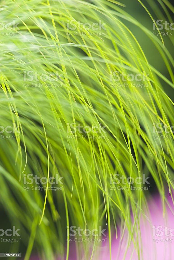 Egyptian papyrus 'King Tut' grass plant - II royalty-free stock photo