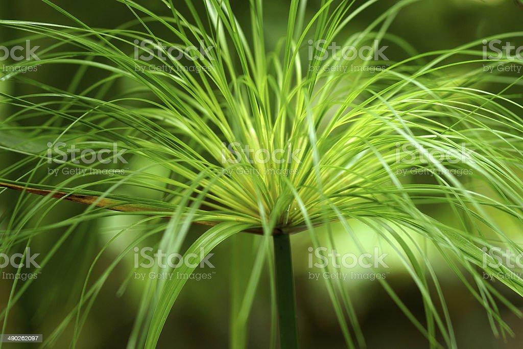 Egyptian papyrus. (Cyperus papyrus L.) stock photo