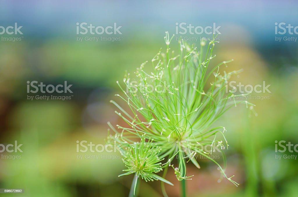 Egyptian papyrus sedge plant. royalty-free stock photo