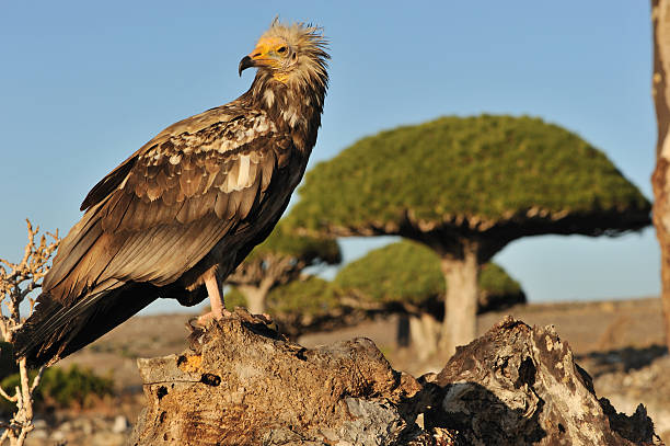 Egyptian vulture and dragon blood tree stock photo