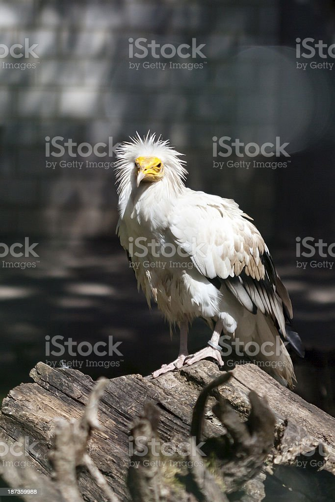 Egyptian vulture, Neophron percnopterus stock photo